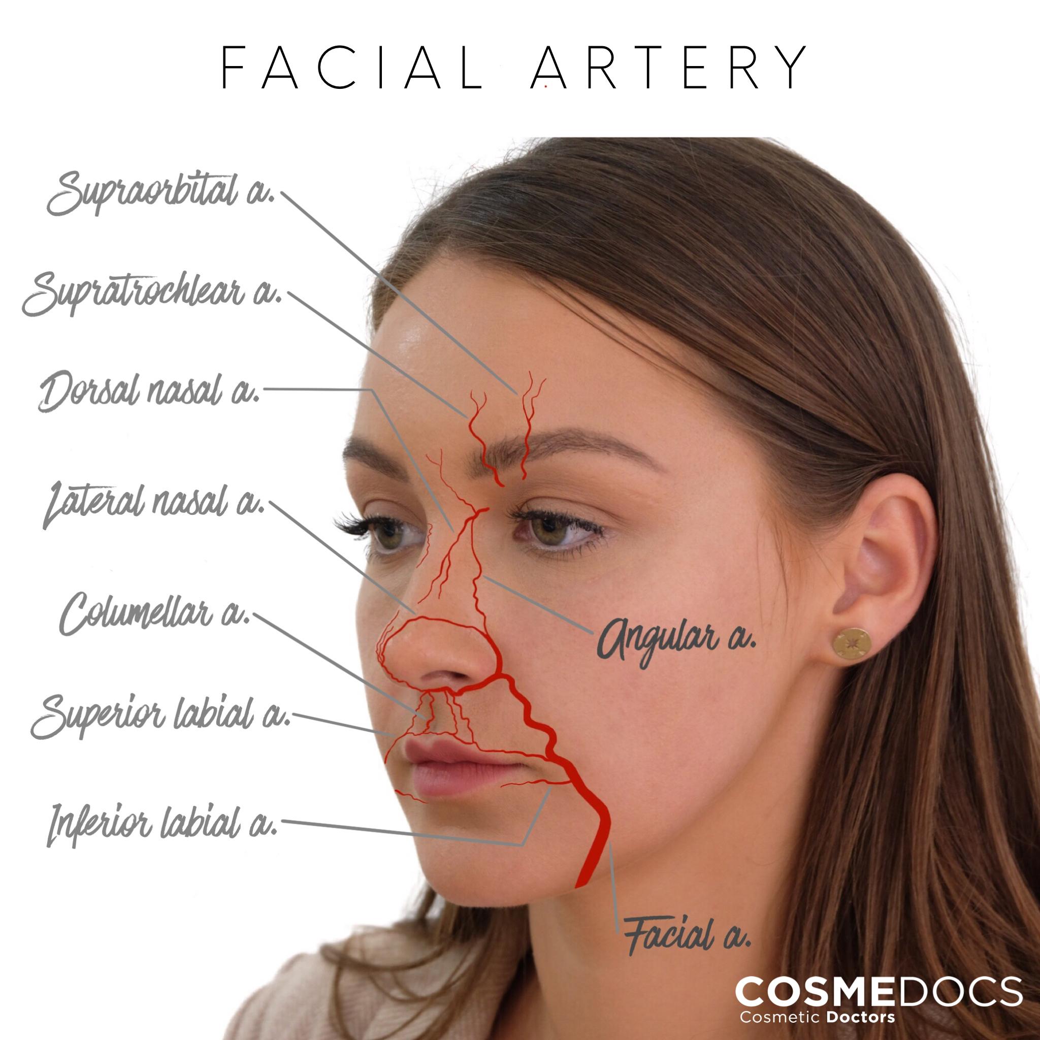 facial artery illustration