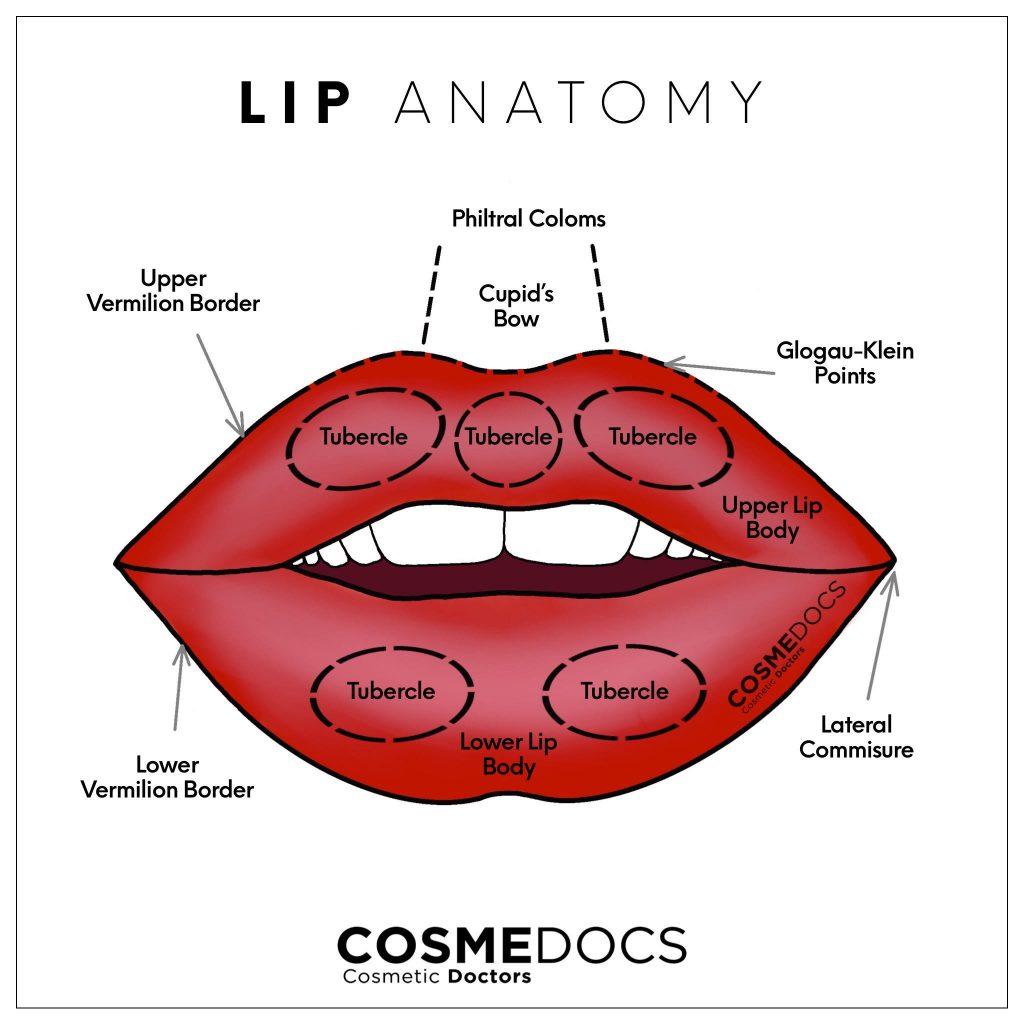 lip anatomy